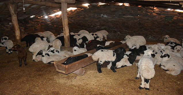 siverekte-hatali-ilac-kullanimi-120-koyunu-telef-etti (1)