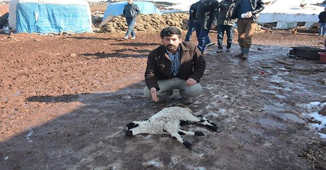 siverekte-hatali-ilac-kullanimi-120-koyunu-telef-etti (2)