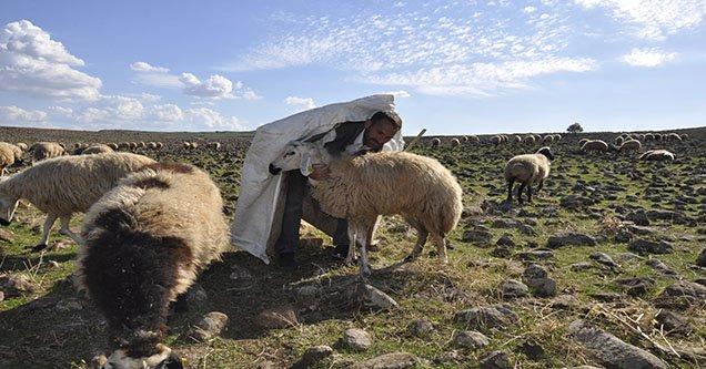 Siverekli besiciler çoban sıkıntısı yaşıyorlar