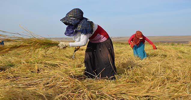 Günlük 30 liraya orakla çeltik hasadı yapıyorlar