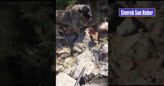 Sürüye saldırmak isteyen kurt öldürüldü