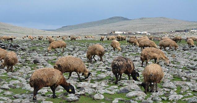 Bakanlığın 300 koyun projesi umutlandırdı