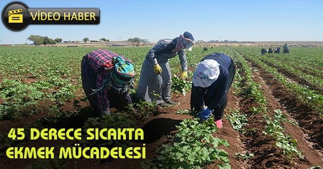 Tarım işçilerinin 45 derece sıcakla mücadelesi