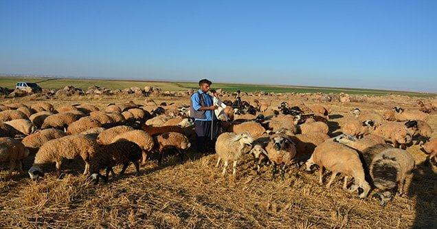 Çobanlık yaparken üniversiteye hazırlandı