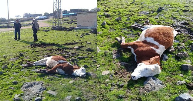 Akıma kapılan inek telef oldu