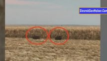 Domuzlar mısır tarlalarına dadandı