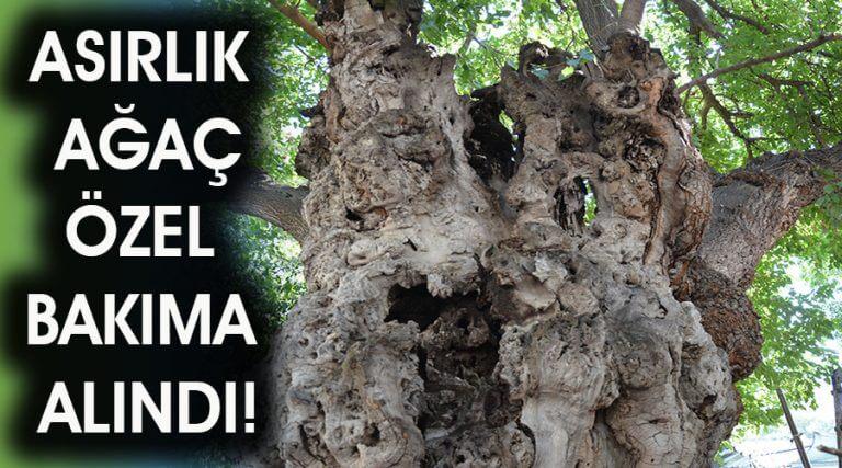 Tarihe tanıklık eden asırlık ağaç özel bakıma alındı