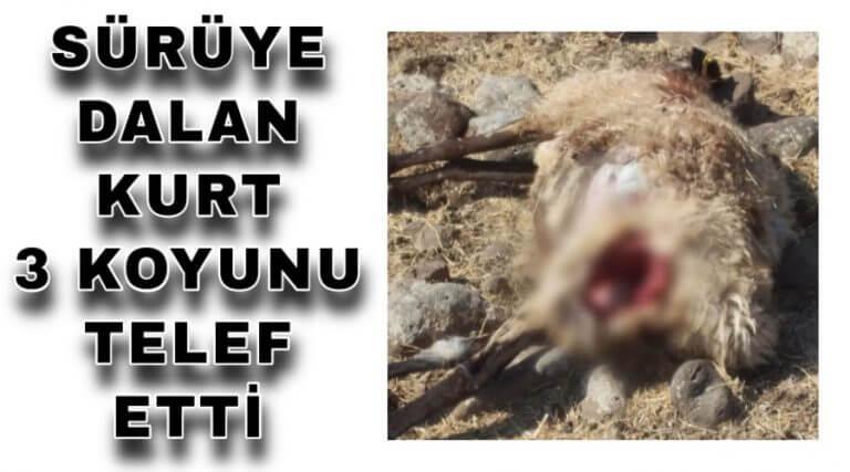 Sürüye dalan kurt 3 koyunu telef etti